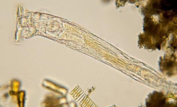 تولید مثل کرم های منجمد 24 هزارساله!